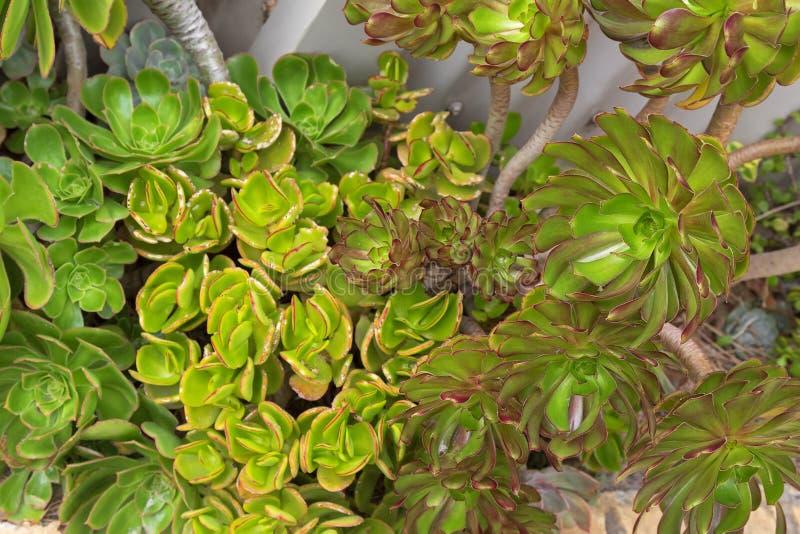 Aeoniumarboreum, ook genoemd boom houseleek, Iers nam, succul toe stock afbeelding