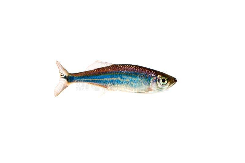 亚洲?9??yo.?in9l#?+_aequipinnatus斑马鱼鱼malabaricus