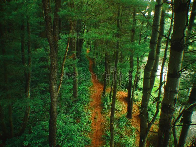 Aerial Bird`s eye view of a Zen like pine forest path. The vibrant green forest was shot with a drone. The perfect place for forest bathing royalty free stock photography
