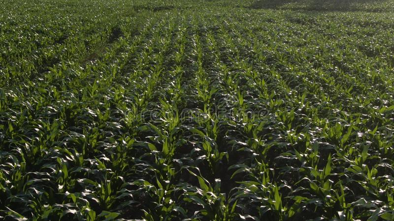 Aerial bird view footage over maize field with still young and small corn plants showing the wide agricultural field stock images