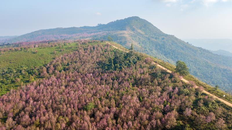 Aerial from drone, Pink sakura Flower or Wild Himalayan Cherry stock photography