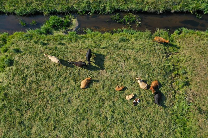 Aerial drone top down view on cows herd with cattle resting on green meadow close to the river. Milk cows pasture in open space royalty free stock photos