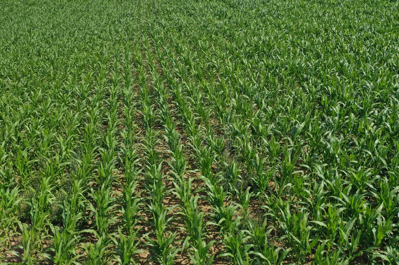 Aerial drone top down view on young green corn plants growing in rows on cornfield stock photos