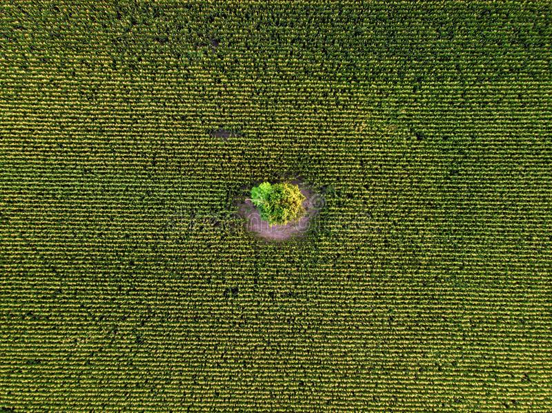 Aerial drone top view of cultivated green corn field stock photos