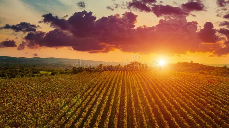 Aerial drone view of wineyards fields from the top at the sunset. Drone Aerial View Concept. stock image
