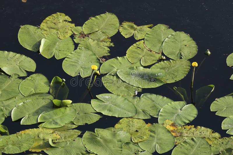 An aerial perspective on water lilies in a pond. An aerial perspective on a pool full of water lilies. Check out the fine details when taking a closer look royalty free stock images