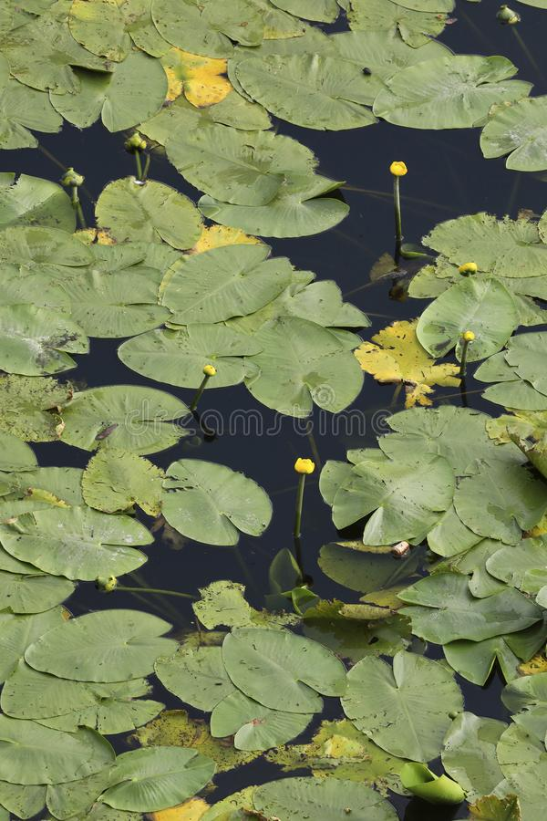 An aerial perspective on water lilies in a pond. An aerial perspective on a pool full of water lilies. Check out the fine details when taking a closer look royalty free stock photo