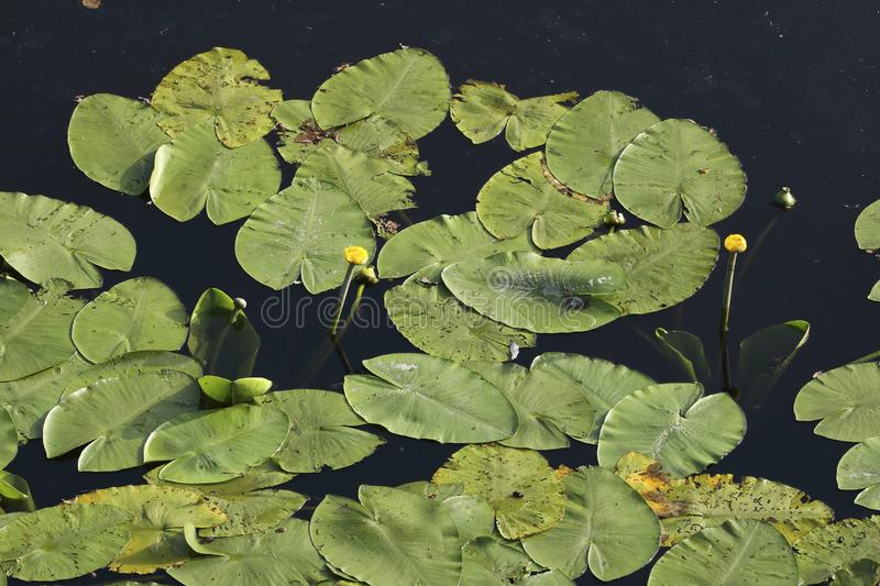 An aerial perspective on water lilies in a pond. An aerial perspective on a pool full of water lilies. Check out the fine details when taking a closer look royalty free stock image