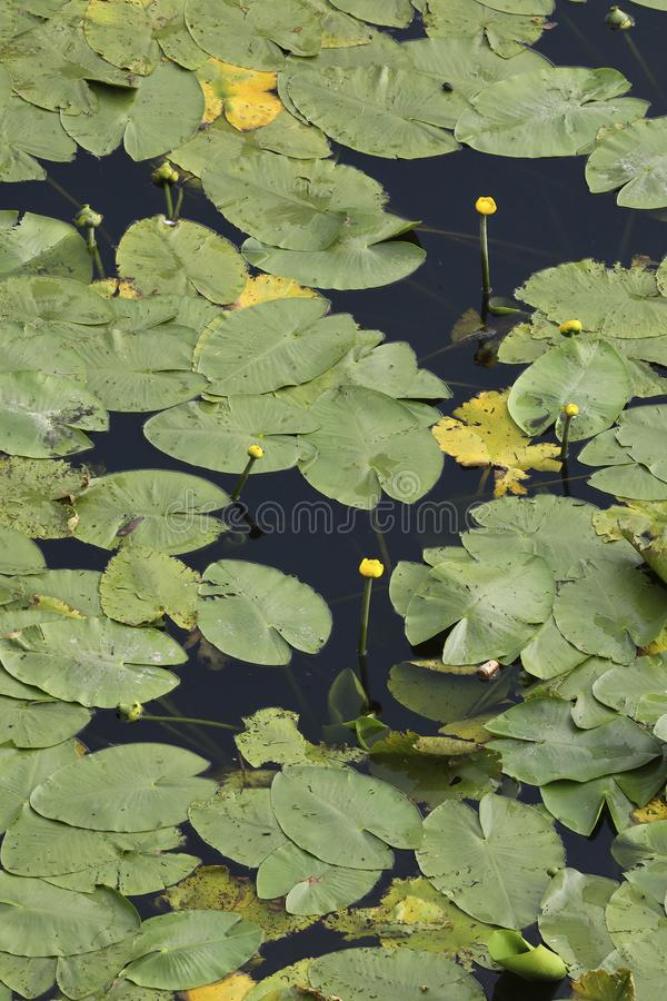 An aerial perspective on water lilies in a pond. An aerial perspective on a pool full of water lilies. Check out the fine details when taking a closer look royalty free stock photography