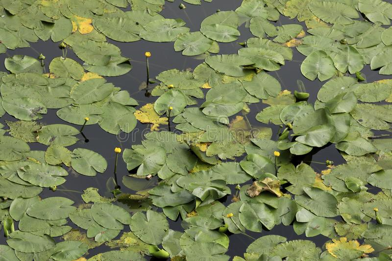 An aerial perspective on water lilies in a pond. An aerial perspective on a pool full of water lilies. Check out the fine details when taking a closer look stock photo