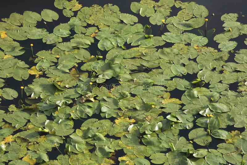 An aerial perspective on water lilies in a pond. An aerial perspective on a pool full of water lilies. Check out the fine details when taking a closer look stock images