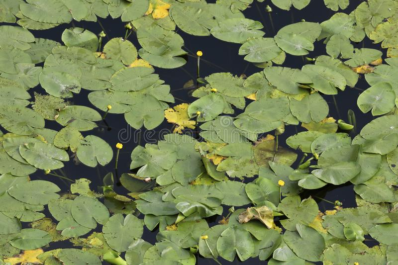 An aerial perspective on water lilies in a pond. An aerial perspective on a pool full of water lilies. Check out the fine details when taking a closer look royalty free stock photos