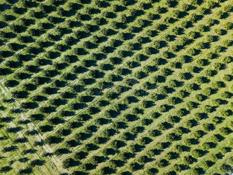 Aerial photo of an orange grove in spring. Before harvest royalty free stock images