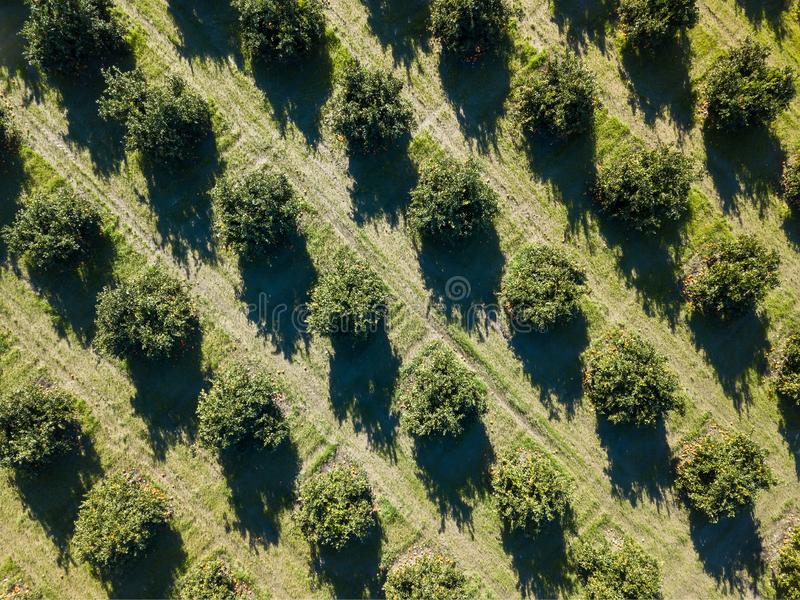 Aerial photo of an orange grove in spring. Before harvest stock photos