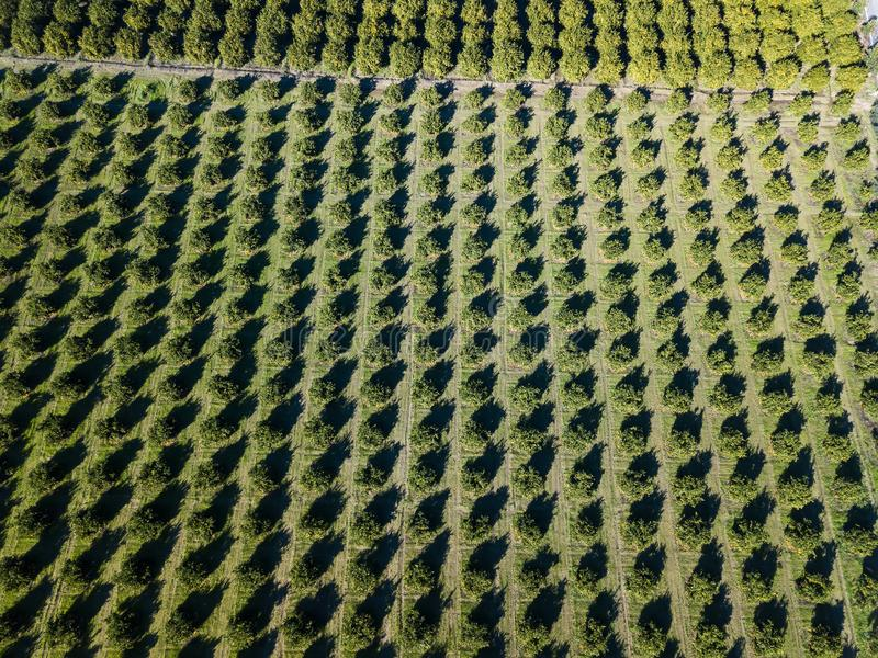 Aerial photo of an orange grove in spring. Before harvest royalty free stock image