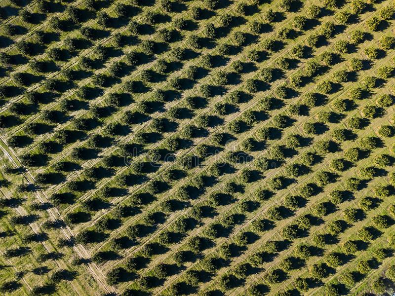 Aerial photo of an orange grove in spring. Before harvest stock photography