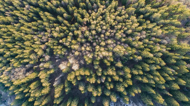 Aerial Photography of a Forest in Winter. Aerial drone Photography of a Forest in early spring. High view of the pine trees royalty free stock images