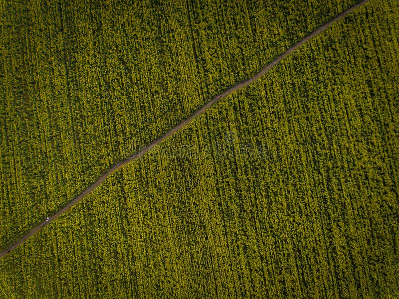 Aerial photos of yellow oilseed. With walkway stock photos