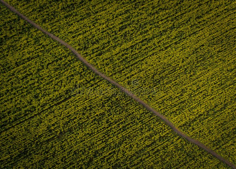 Aerial photos of yellow oilseed. With walkway stock photo
