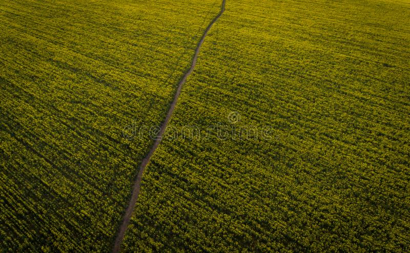 Aerial photos of yellow oilseed. With walkway royalty free stock photography