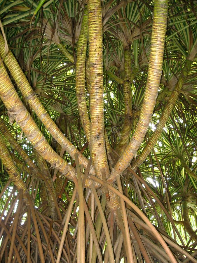 Aerial prop roots of pandanus tree also known as pandan or pine or palm. It is a palm-like tree and shrub native to the tropics and subtropics royalty free stock photo