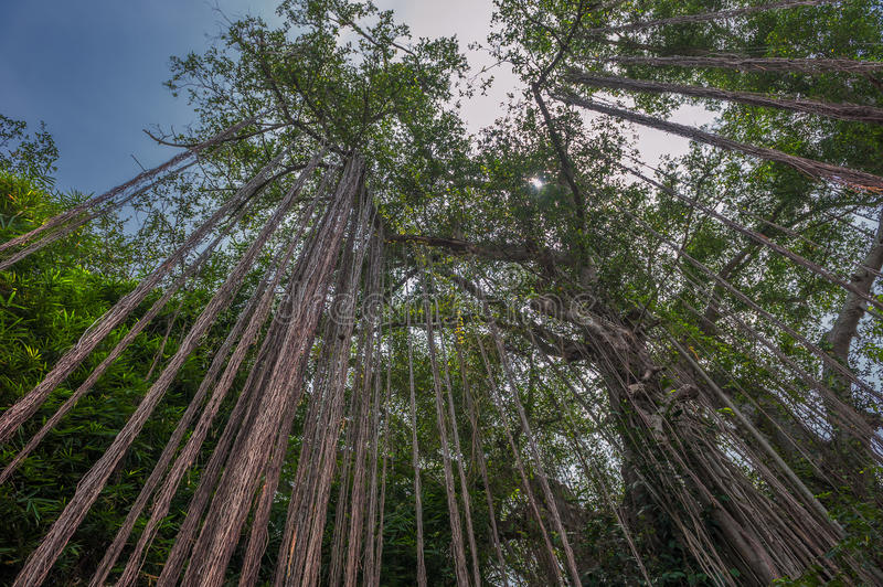 Aerial roots of a big tree. In rainforest royalty free stock photos