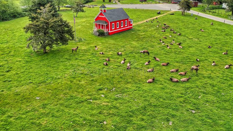 Aerial shot of a beautiful green field with a little red wooden house and herd of deer al around royalty free stock images