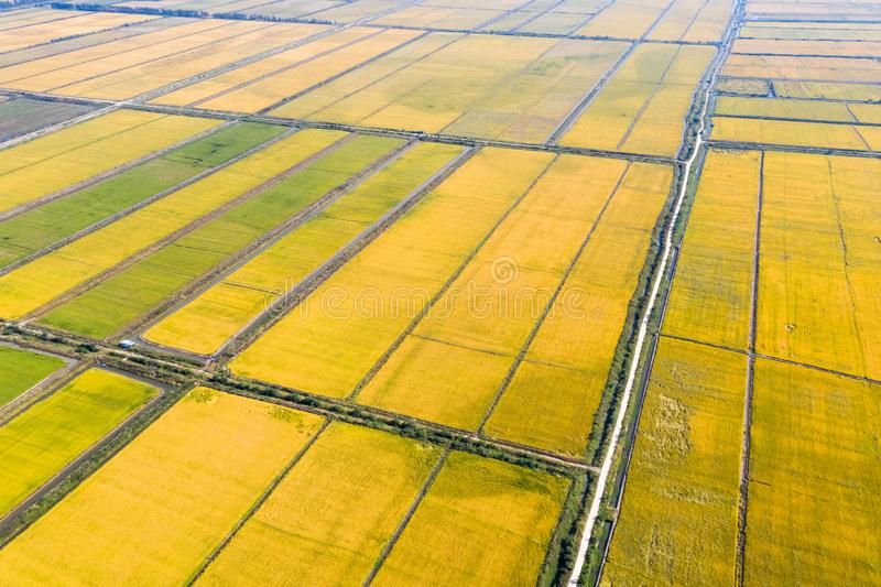 Aerial view of autumn rice field royalty free stock photos