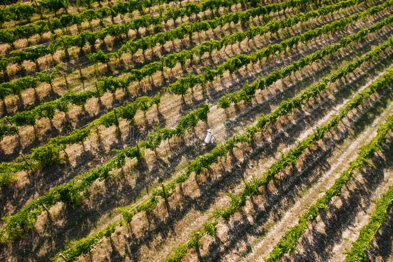 Aerial view of beautiful girl in hat stands on large vineyard plantation. stock images