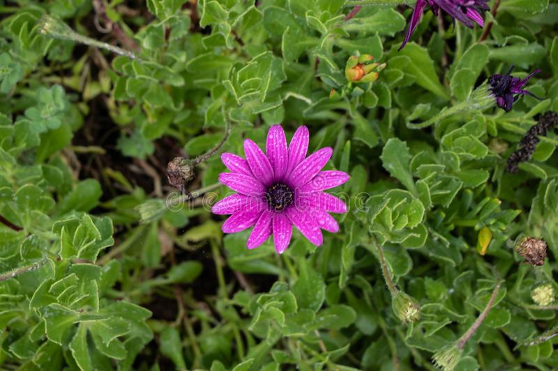 Aerial view of a beautiful purple and violet African daisy on a green background of grass and vegetation royalty free stock photos