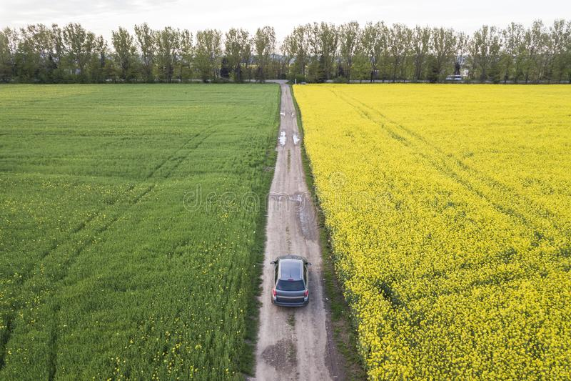 Aerial view of car driving by straight ground road through green fields with blooming rapeseed plants on sunny day. Drone. Photography stock photography