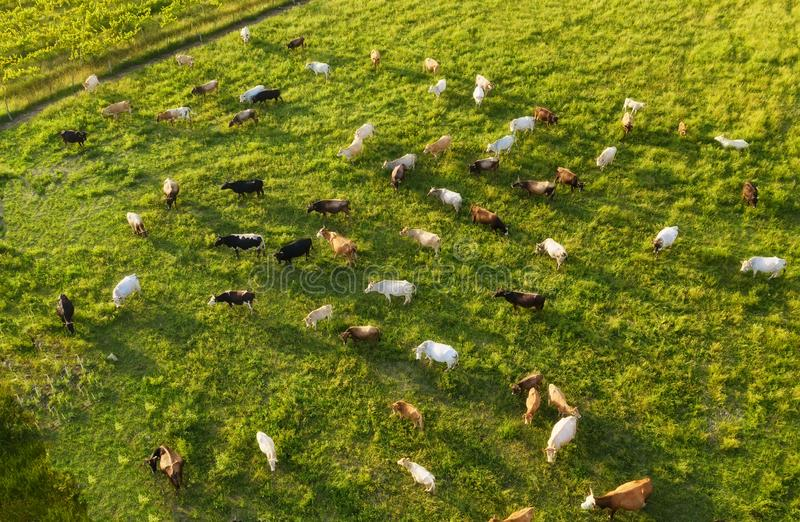 Aerial view at the cows. Farmland landscape from air. Composition with domestic animals. Photo from drone. Animal - image royalty free stock image