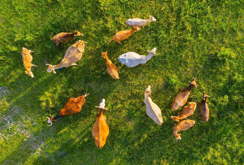 Aerial view at the cows. Farmland landscape from air. Composition with domestic animals. Photo from drone. Animal - image royalty free stock photos