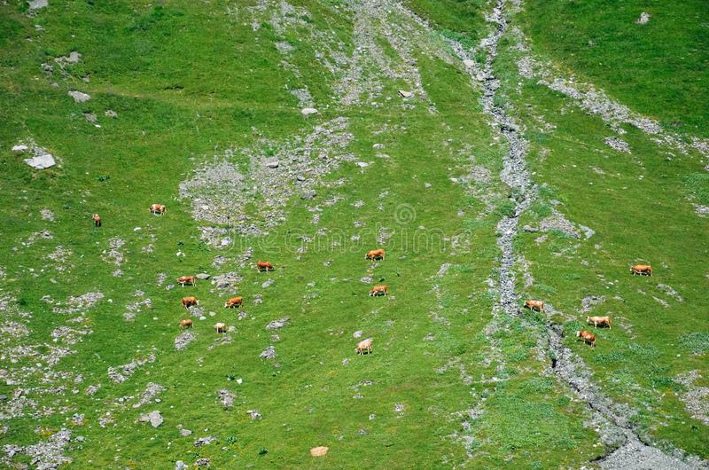 Aerial view of cows on green Alpine pasture. Minimalist nature. Brown cows on green meadow from above. Cattle, farm animals. Herd stock photo