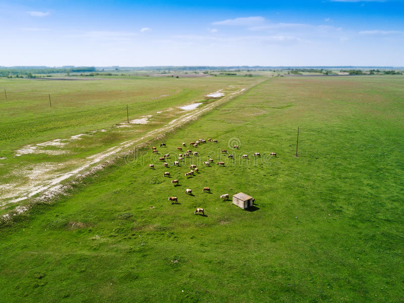 Aerial view of cows herd grazing on pasture royalty free stock images