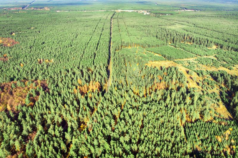 Aerial view of evergreen man planted pine foret. Straighr rows of trees. Greening of planet and eco-friendly royalty free stock image