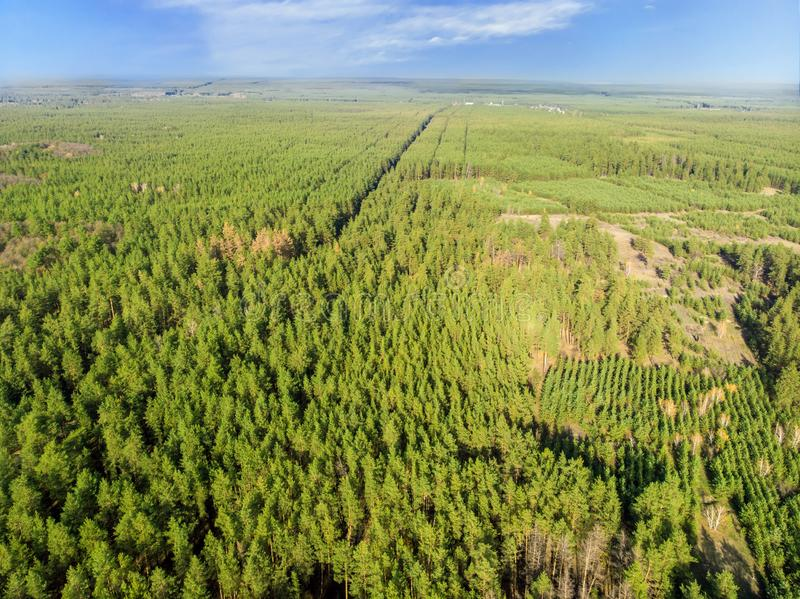 Aerial view of evergreen man planted pine foret. Straighr rows of trees. Greening of planet and eco-friendly. Forest outdoor nature wood background environment royalty free stock images