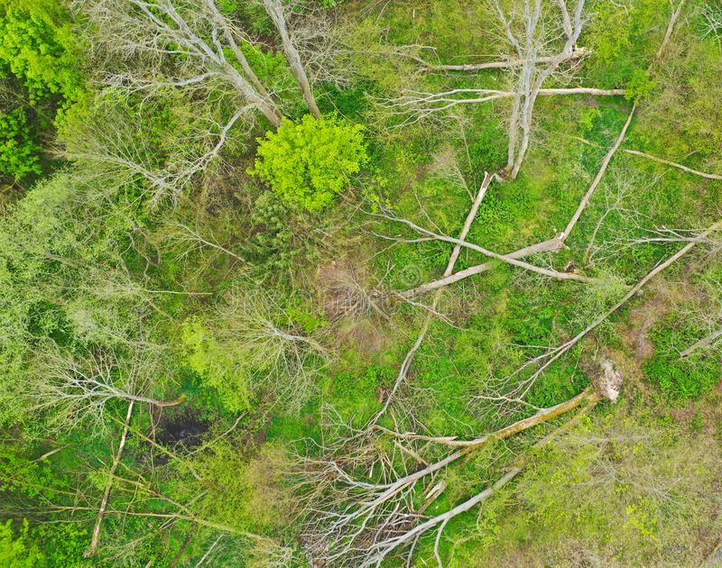 Aerial view on fallen and destroyed deciduous trees after strong wind storm like hurricane or whirlwind.  stock image