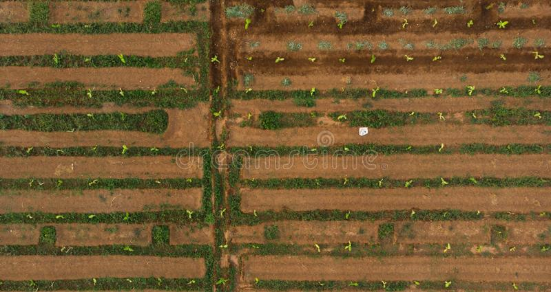 Aerial view of farm with surface irrigation system. narrow water pathways like a man made maze. Aerial view of young banana plant farm with surface irrigation royalty free stock photos