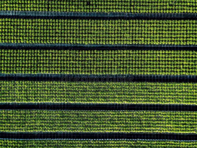 Aerial view of farmland and rows of crops. Green seedlings in rows in the greenhouse of Italy royalty free stock image
