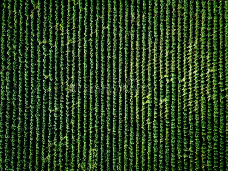 Aerial view of farmland and rows of crops. Green seedlings in rows in the greenhouse of Italy stock photo