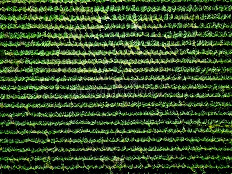 Aerial view of farmland and rows of crops. Green seedlings in rows in the greenhouse of Italy stock image