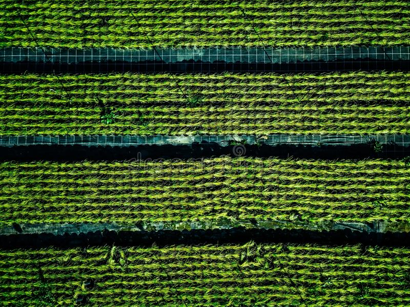 Aerial view of farmland and rows of crops. Green seedlings in rows in the greenhouse of Italy stock photos