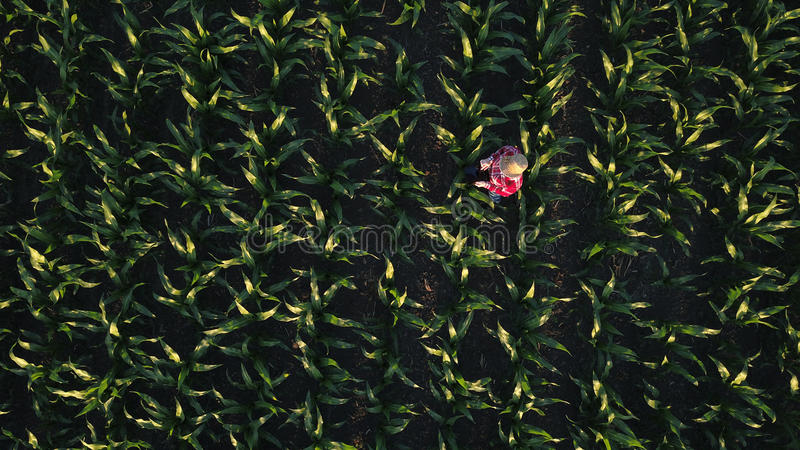 Aerial view of female farmer with tablet in corn field stock photography