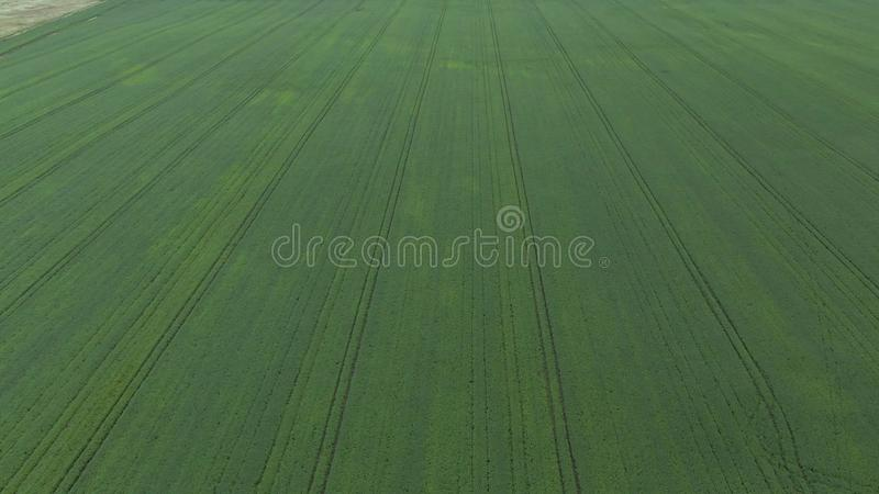 Aerial view. Flight above the young corn field. stock photo