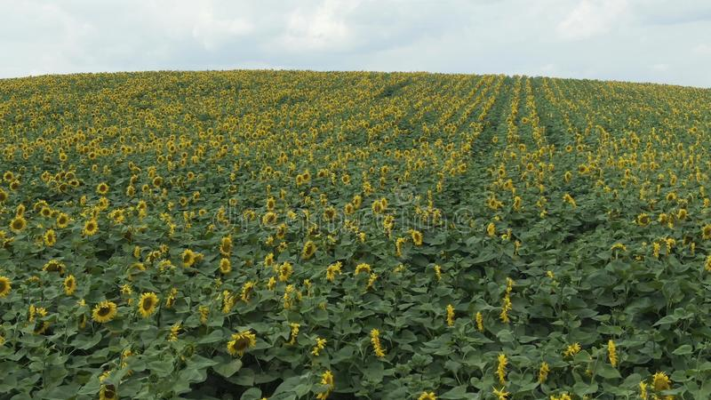 AERIAL VIEW: Flight over a beautiful sunflower field royalty free stock images