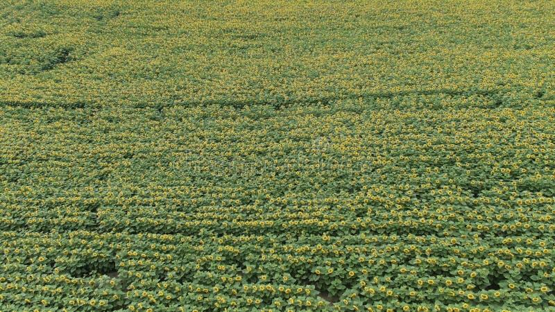 AERIAL VIEW: Flight over a beautiful sunflower field stock photos