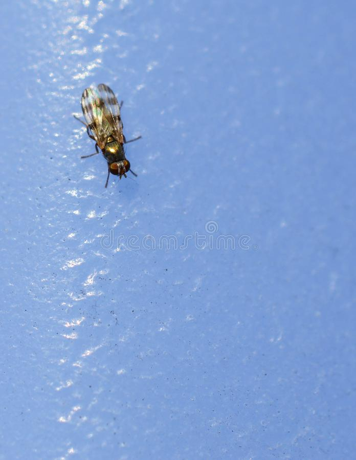 Aerial view of a fly on a blue background. Macro photo of aerial view of a fly on a blue background royalty free stock photography