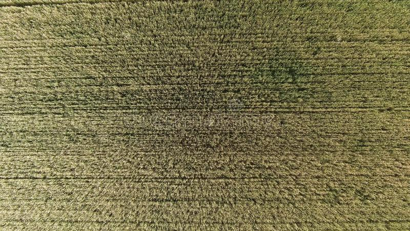 Aerial view of golden rye or wheat field. Agriculture and harvest season. Top view zoom out shot of countryside royalty free stock photos
