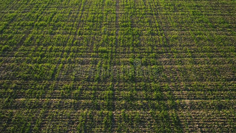 Aerial view of green corn field growing in rows, agriculture concept. Shot. Top view of green corn plants growing in the. Aerial view of green corn field growing stock photography